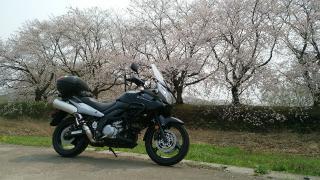 桜を探して。
