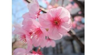 また桜の季節がやってまいりました