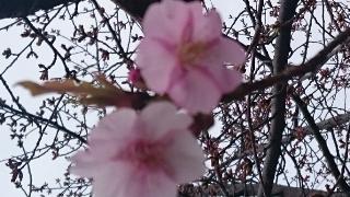 地元の桜は