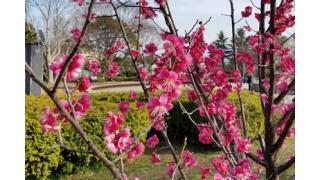 豊公園の桜情報