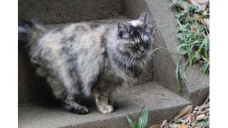 たぬき級の猫