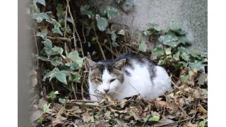 あしたのジョーのふるさと、東京山谷の猫はどっちだ!?