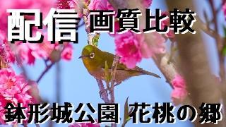 ニコニコ生放送アプリの配信画質を比較したり、鉢形城公園と花桃の郷に行って撮影したり