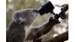 ▼3Aprロイター|コアラがソニー製カメラで「自撮り」、豪シドニーの動物園で