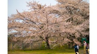 おっさんの1人旅 帰ってきた三大桜 三春滝桜(福島県)