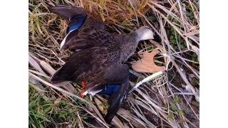 【生活に役立つ動画】無免許・無届けで合法的に野鳥を捕獲して調理する動画