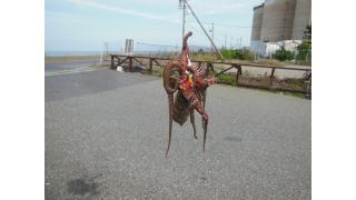 ルアーでタコを釣って食べた