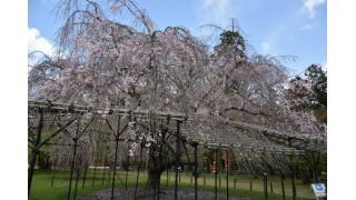 桜葉桜散桜