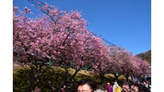 河津桜まつりに行ってきました