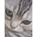 人気の「マンチカン」動画 1,383本 -短足猫が好きなんだよ!