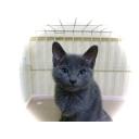 【ロシアンブルー】独身おっさんと一匹の猫【まったり】