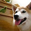 キーワードで動画検索 ローズ&柴犬りょう - ローズ&柴犬りょう