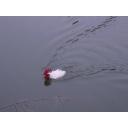 鶏が泳いでる配信