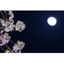 夜桜が舞い散る放送