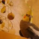 鳥@ぴよぴよ動画