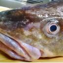 キーワードで動画検索 りょう - たらの活き活き生(魚)実況