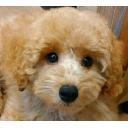 キーワードで動画検索 子犬 - 2016年5月21日生まれのプードル達を生中継