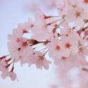 桜咲く、留守のまにまに