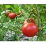 小松トマト