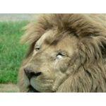 眠りっぱなしの獅子