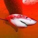 Shark3284