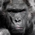 Mega Gorilla