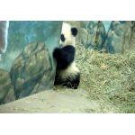 月面大熊猫
