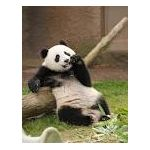 やさぐれパンダ