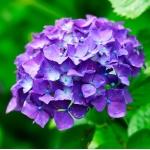紫陽花(山田)