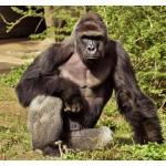 gorillagorlla12