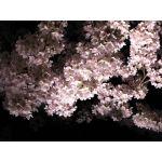 夜桜(やお)