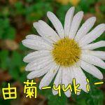 由菊-yuki-