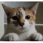三毛猫とろちゃん♥