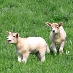 Sheep3D
