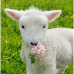 羊のウーリィさん