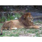 ライオン 壱