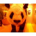大熊猫(あたし)