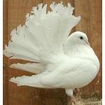 孔雀(。◕ ∈ ◕。)彡鳩