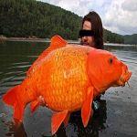 紅鯉             。