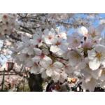 さくら 桜 さくら  桜 さくら