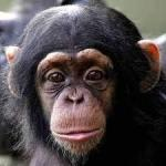 チンパンジー4