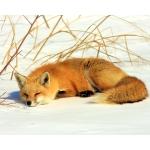 もふもふ白狐