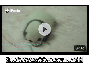 2015年パンダの赤ちゃんの可愛い瞬間