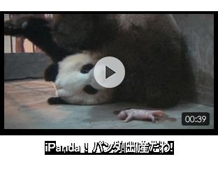 iPanda!パンダ!出産だわ!