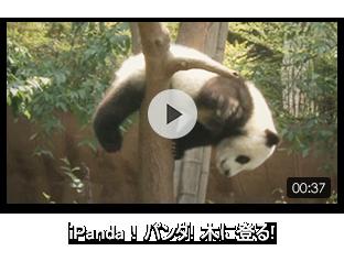 iPanda!パンダ! 木に登る!