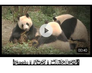 iPanda!パンダ!ご飯を食べる!